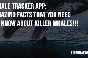 Whale Tracker App Amazing Facts That You Need To Know About Killer Whales